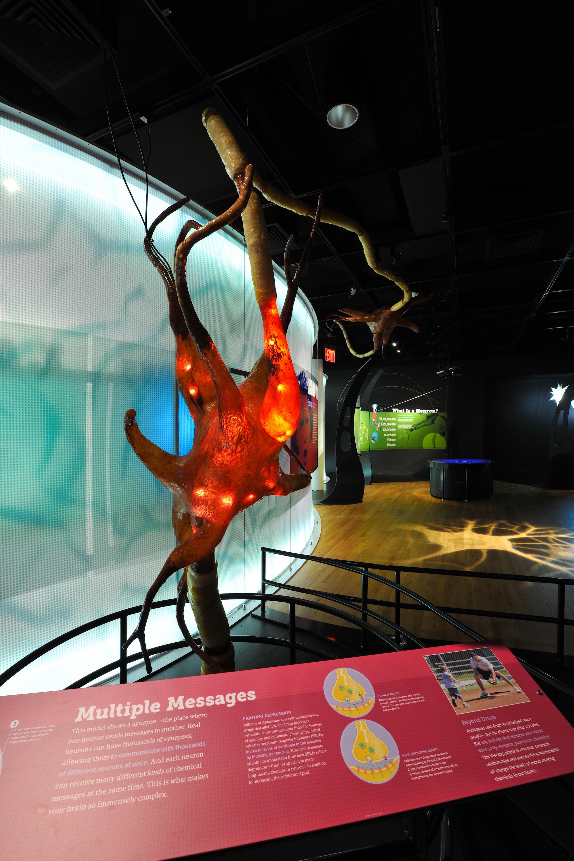 Brain. Giant neuron-DF